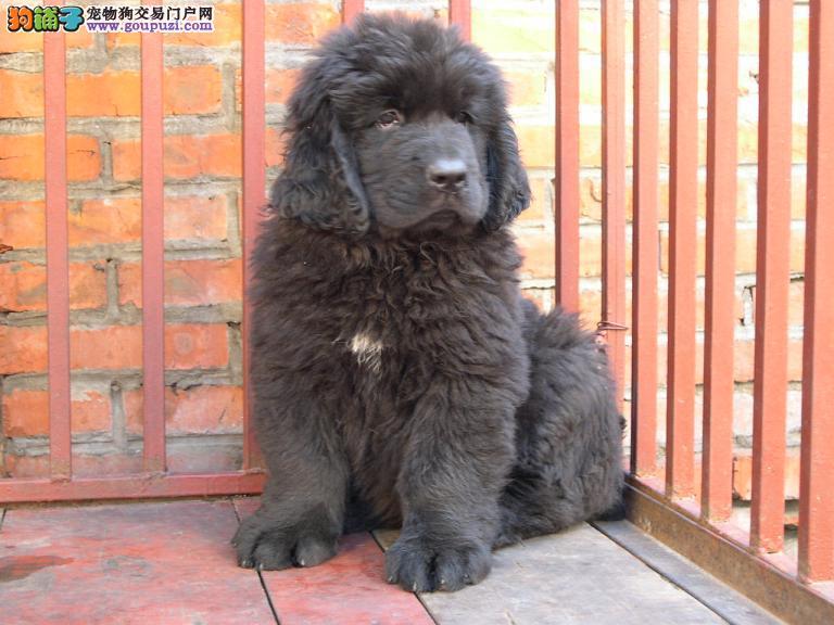 济南养殖场直销完美品相的纽芬兰犬包售后包退换3