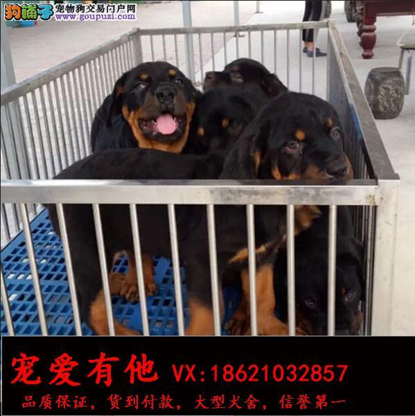 驯养高品质罗威纳犬赤峰售忠诚聪明护主我家没有便宜狗