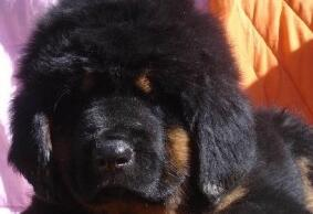 冠军级后代纽芬兰犬 品质优良血统纯正 提供养护指导