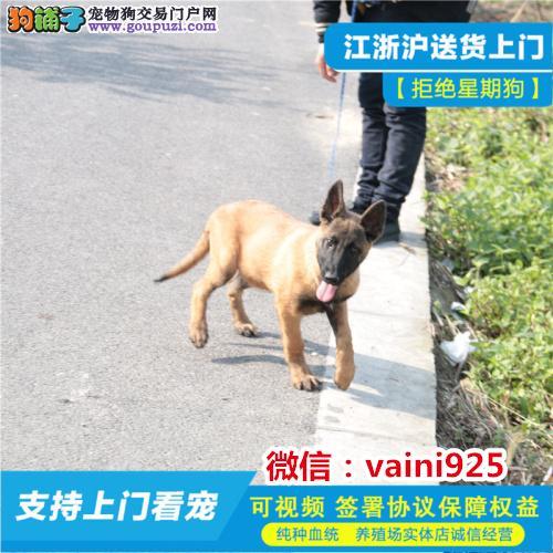 博尔塔拉直销极品马犬幼犬价格低品质好比利时玛连莱犬