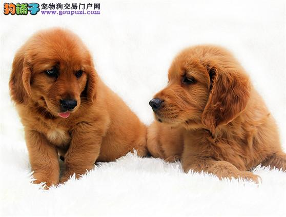 大足县售纯血统精品金毛幼犬黄金猎犬公母全有可挑选