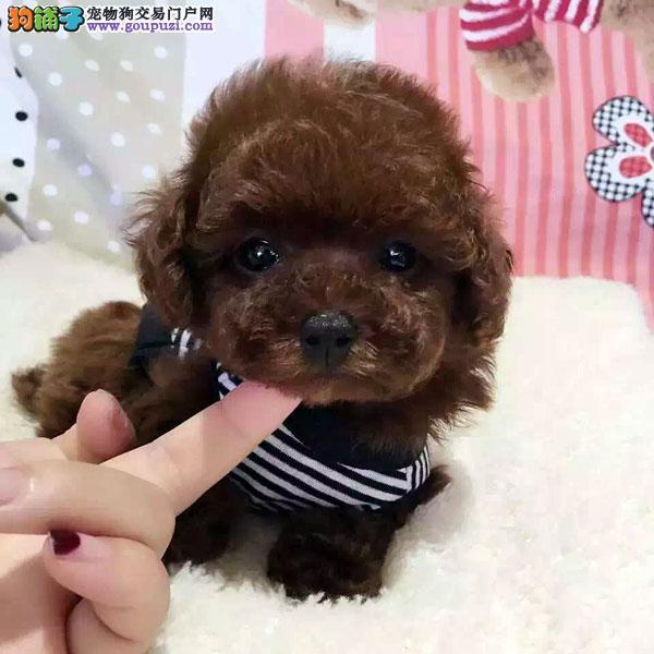 cku认证犬舍出售高品泰迪 签协议证件齐全