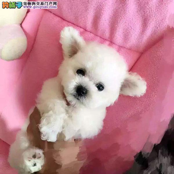 百业名犬繁育高品质泰迪熊包纯种健康全国当天到货