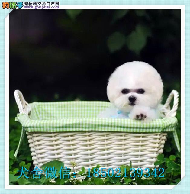 百业名犬专业繁育高品质比熊包纯种健康全国当天到货
