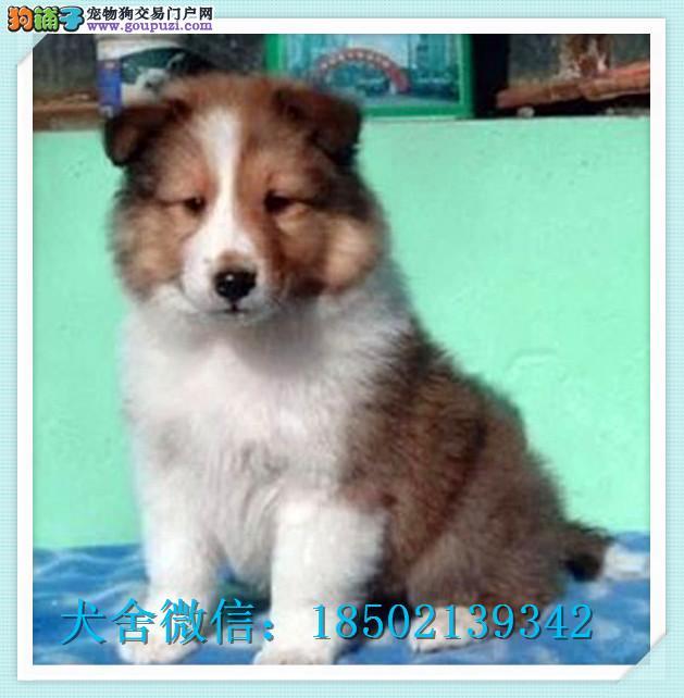 黄浦正宗迷人的喜乐蒂幼犬是花色很正 新生聪明小型犬