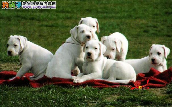选购杜高犬6原则 从健康特征选购杜高犬幼犬