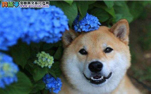 如何选购日本柴犬 选购柴犬时注意事项