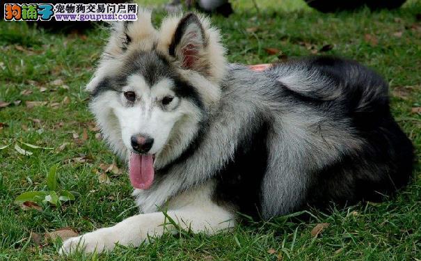 阿拉斯加雪橇犬好养吗 饲养阿拉斯加需要考虑的问题