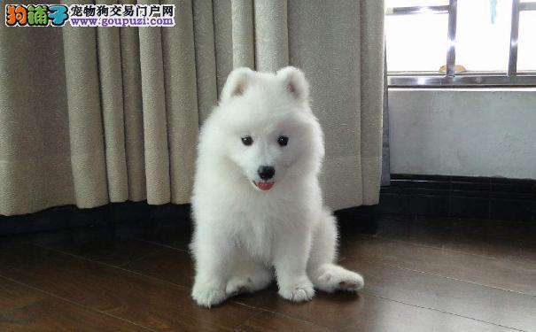 具有微笑天使之称的萨摩耶犬 萨摩耶名字的来历