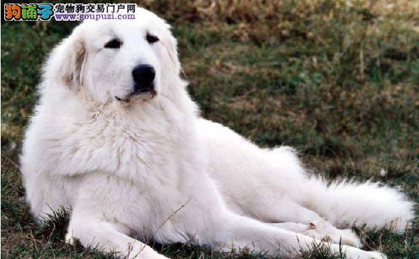比利牛斯山犬是温柔的大白熊 大白熊犬多少钱一只