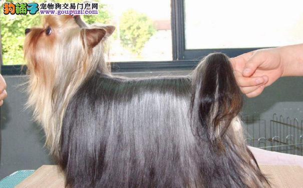 约克夏的特点介绍 约克夏梗犬的外貌特征