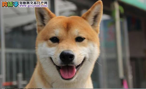 柴犬的性格特点介绍 你适合饲养柴犬吗