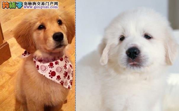 大白熊犬和金毛犬的区别有哪些5