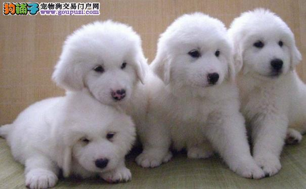 如何选购健康的大白熊犬幼犬 挑选大白熊的方法