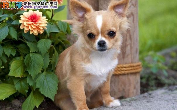 纯种吉娃娃犬多少钱一只 吉娃娃的价格