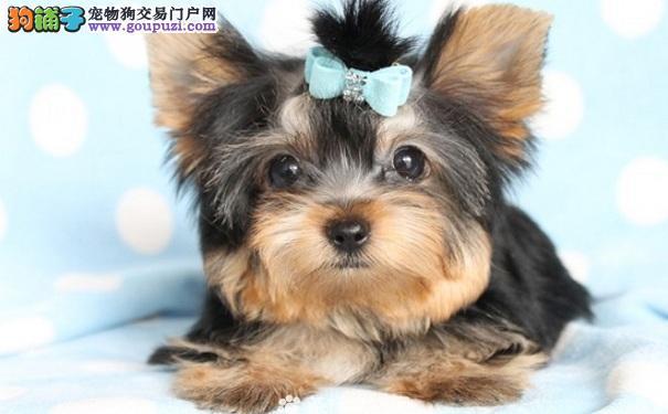 约克夏犬怎么挑选 购买约克夏犬的方法