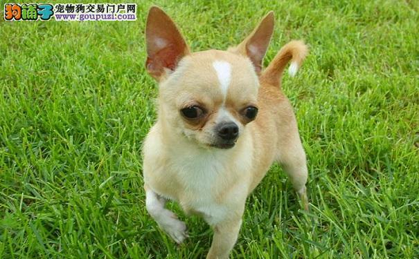 想买小型可爱的宠物犬 吉娃娃是不错的选择