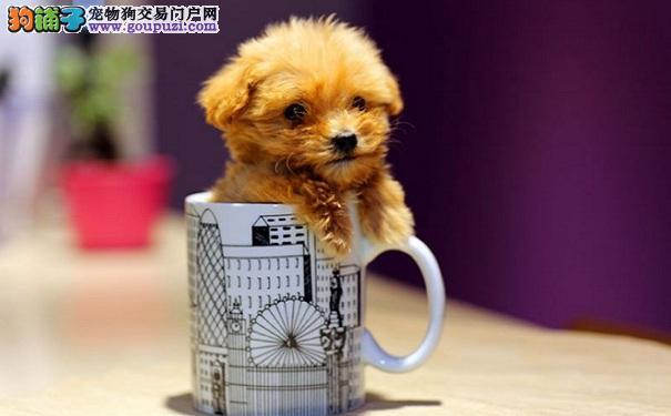 购买茶杯犬的价格 茶杯犬有什么优点和缺点