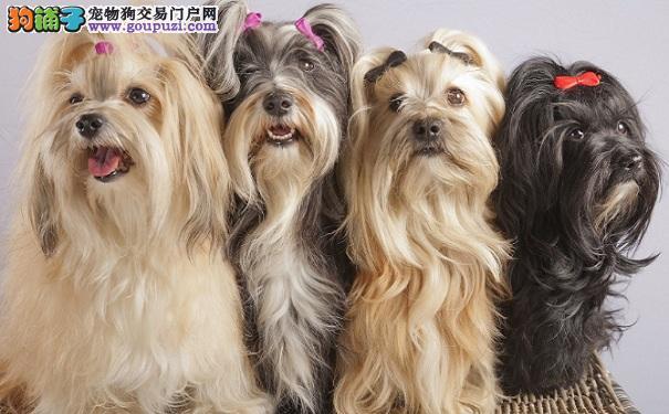 马尔济斯犬好养吗 选购马尔济斯犬的方法
