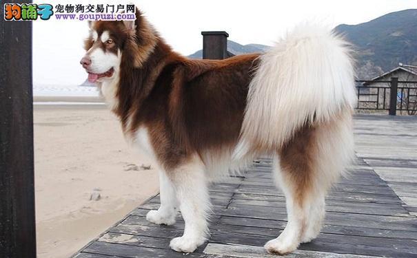 怎样选购纯种的阿拉斯加雪橇犬幼犬