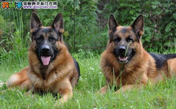 德国狼狗的价格 选购德国狼狗的要点