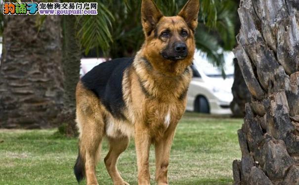 德国牧羊犬好养吗 养德国黑背需要注意的事项