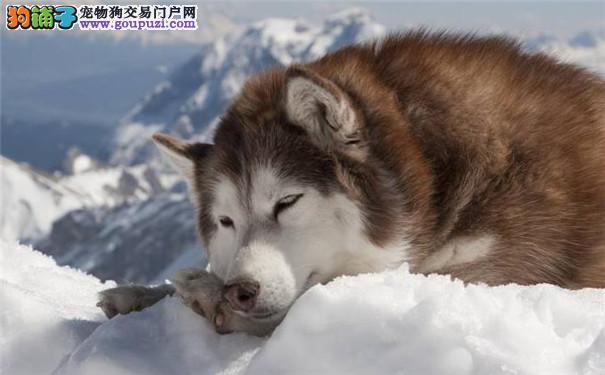 巨型阿拉斯加犬好养吗 阿拉斯加雪橇犬优缺点大公开