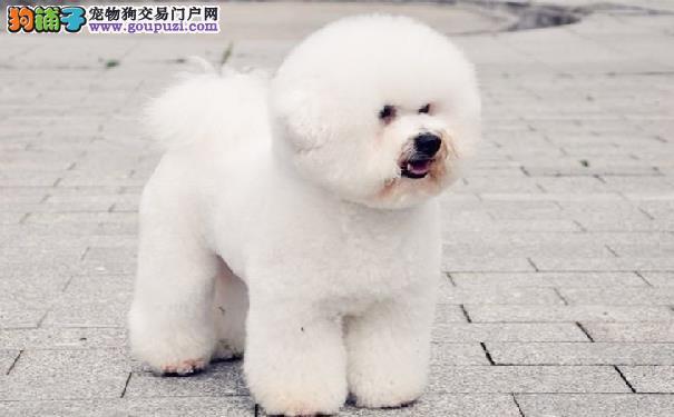 卷毛比熊犬的鉴别 纯种比熊犬的主要特征