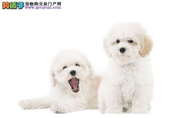适合家养小型犬点评:那些不掉毛无体臭不乱叫的狗狗