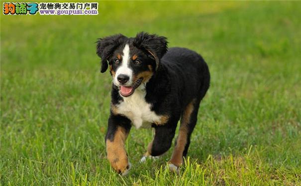 伯恩山犬性格堪称完美 瑞士伯恩山犬曾一度濒临灭绝