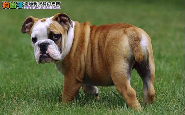 判断英国斗牛犬是否患病的方法 英牛犬患病的症状