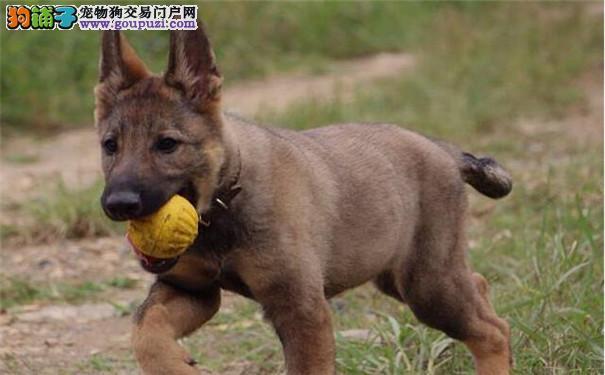 昆明犬在训练时调皮怎么办 如何训练昆明犬幼犬5