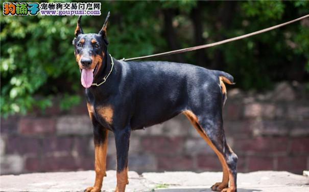 德系杜宾犬的外观特点 杜宾犬的健康与疾病