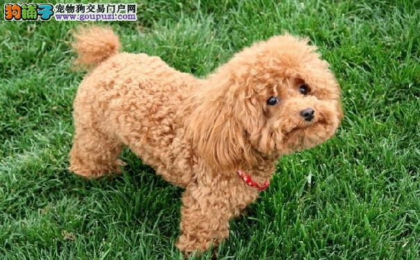 贵宾犬不愧为小型犬智商第一 训练泰迪熊学会搜索本领