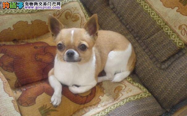 吉娃娃犬吃太饱好不好 吉娃娃吃撑了怎么办