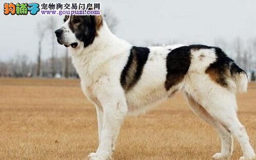中亚牧羊犬的喂养方法5