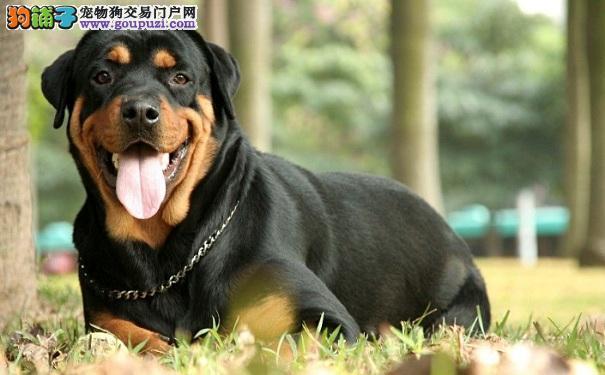 罗威纳犬的喂养方法 饲养罗威纳犬的注意事项5