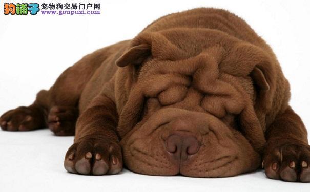 如何和沙皮狗培养感情 养沙皮犬拉近关系的方法