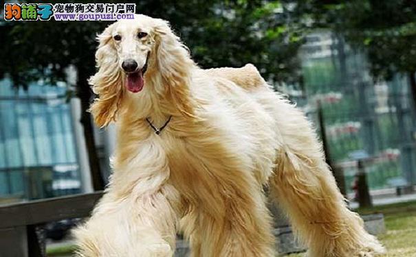喂养阿富汗猎犬须知 阿富汗猎犬所需要的营养