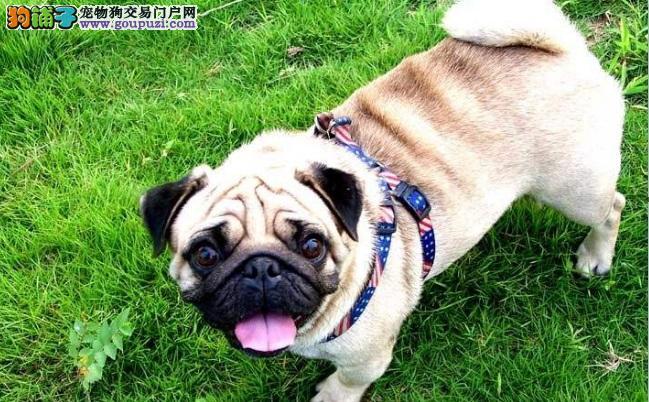 巴哥犬拒食训练 禁止巴哥犬乱吃东西