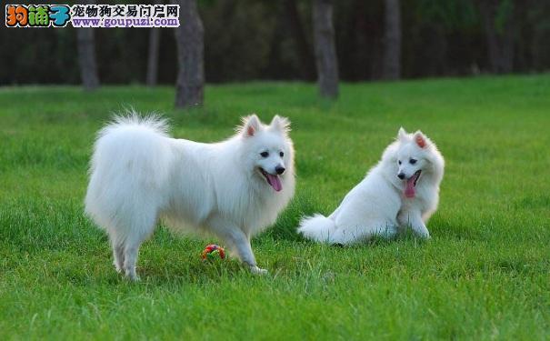 春季银狐犬掉毛怎么办 清理银狐犬掉毛的方法