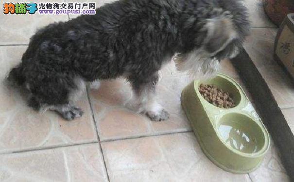 雪纳瑞犬吃饭太快 怎样控制雪纳瑞吃饭速度