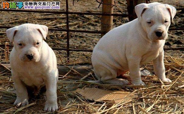 如何饲养一只年幼的杜高犬
