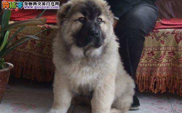 三个月大的高加索犬可以洗澡吗