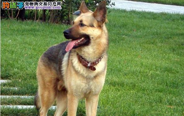 昆明犬吃草的主要原因 昆明犬为什么吃草