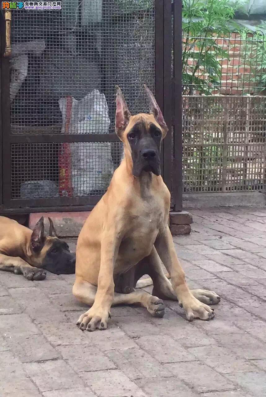 天水赛级纯种德国大丹犬 大型犬大丹幼犬专业繁殖出售