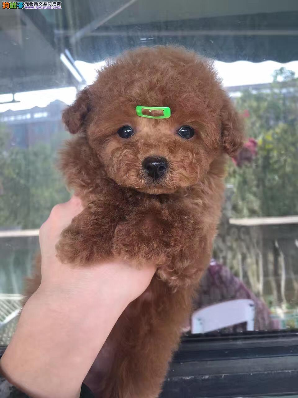 出售纯种泰迪犬,不掉毛,茶杯玩具迷你体