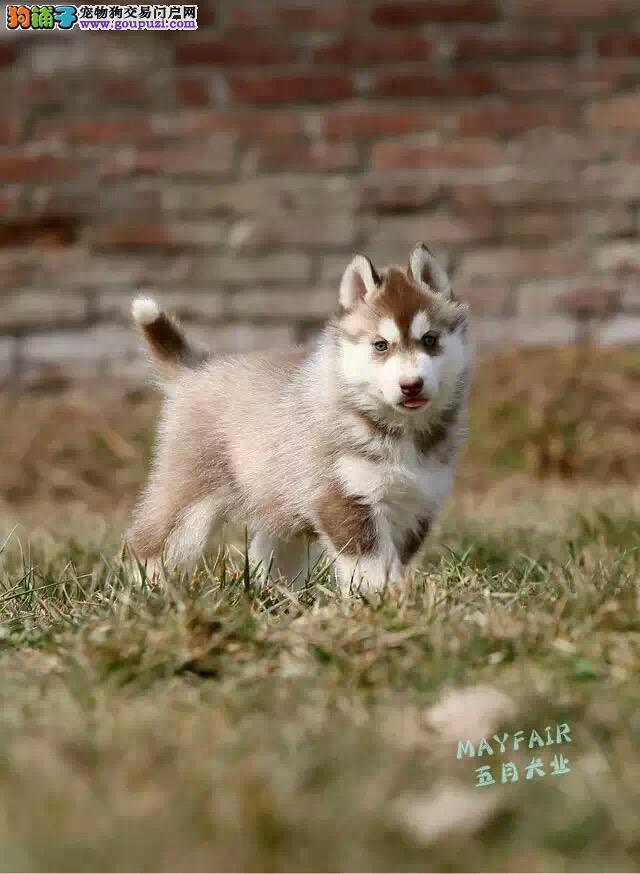 纯种哈士奇犬,正规犬舍繁殖,三把火哈士奇