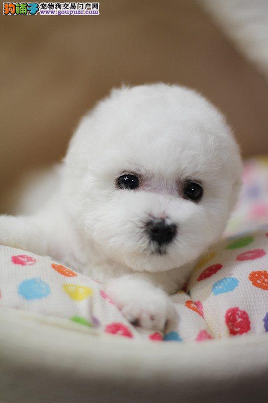 棉花糖比熊犬宝宝出售,正规犬舍繁殖