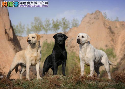 出售纯种拉布拉多犬,赛级拉布拉多犬